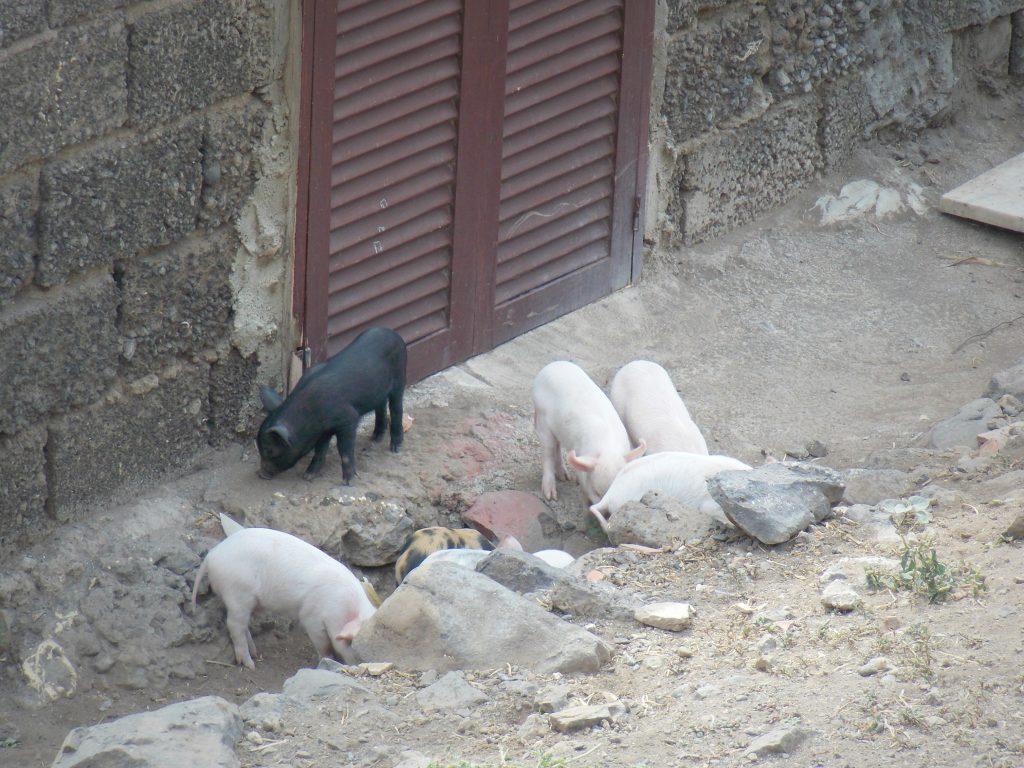 cochons-cidade-velha